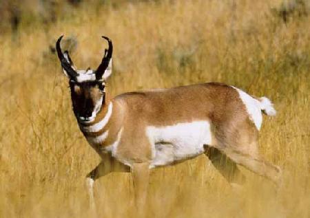 Antilopė