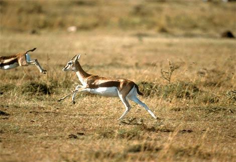 Tomsono gazelė