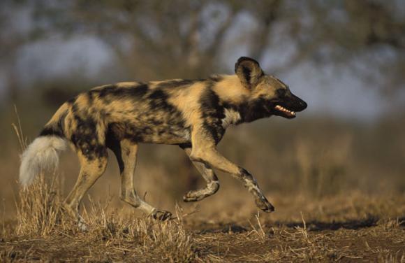Afrikos hieninis šuo