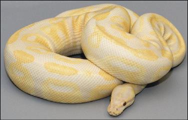 """""""Lavender Albino Python Female"""""""