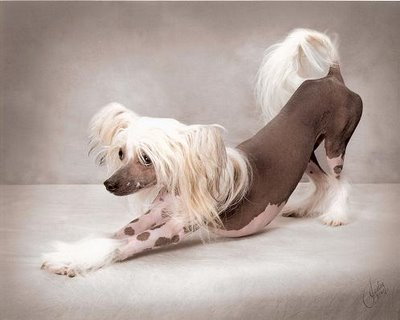 """Chinese Crested Hairless Puppies"""