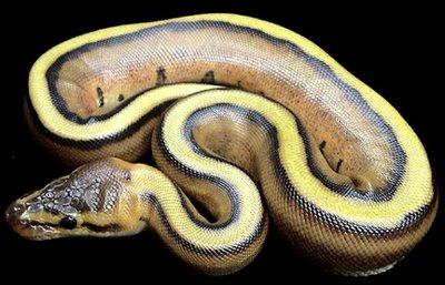 """Striped Ball Python"""