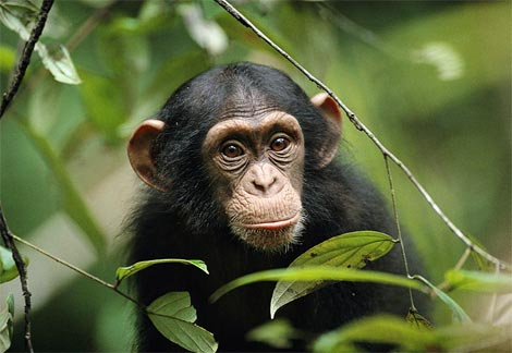 """Chimpanzee"""