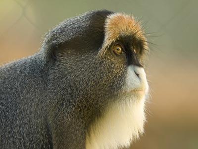 """""""De Brazza's Monkey"""""""