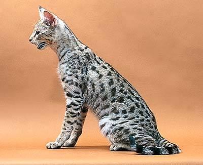 """""""Savannah Cat"""""""
