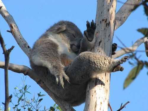 mieganti-koala